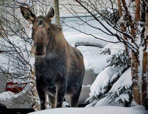 ARCOS moose